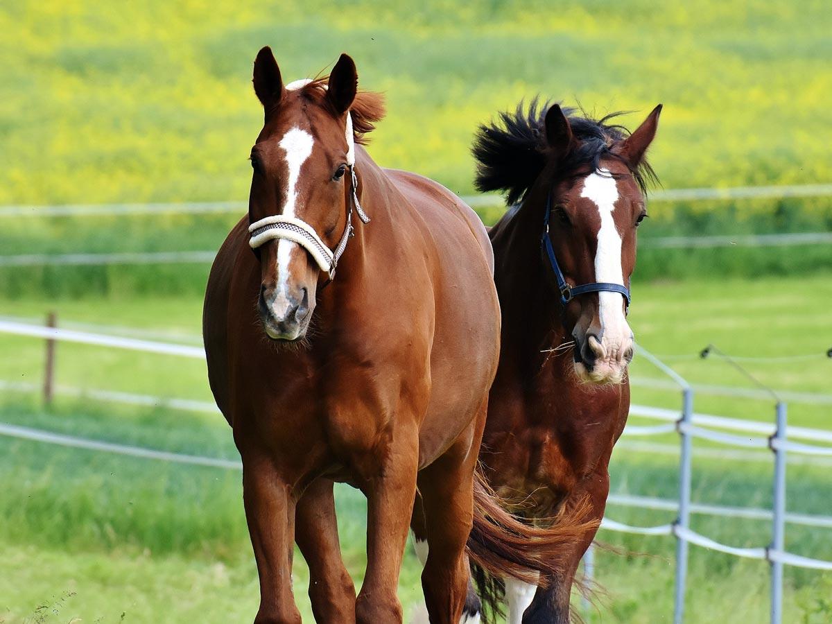 Companion Horses