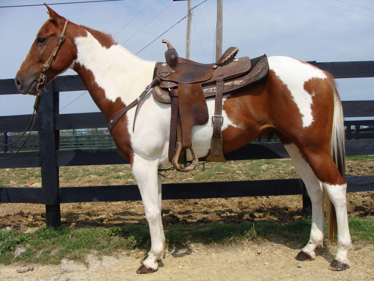 Tobiano Horses