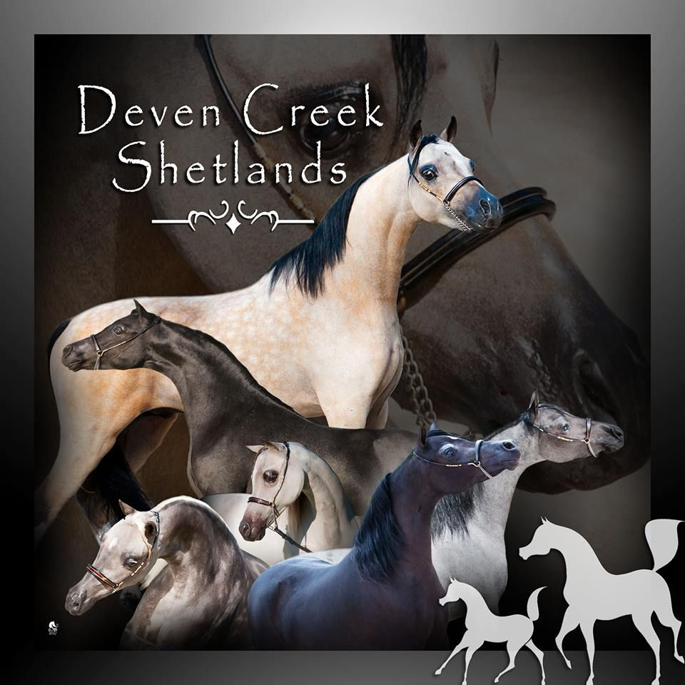 Deven Creek Miniatures  Shetlands
