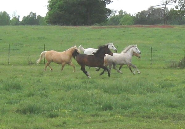 Zohar Color Specialty Half Arabians and Arabians