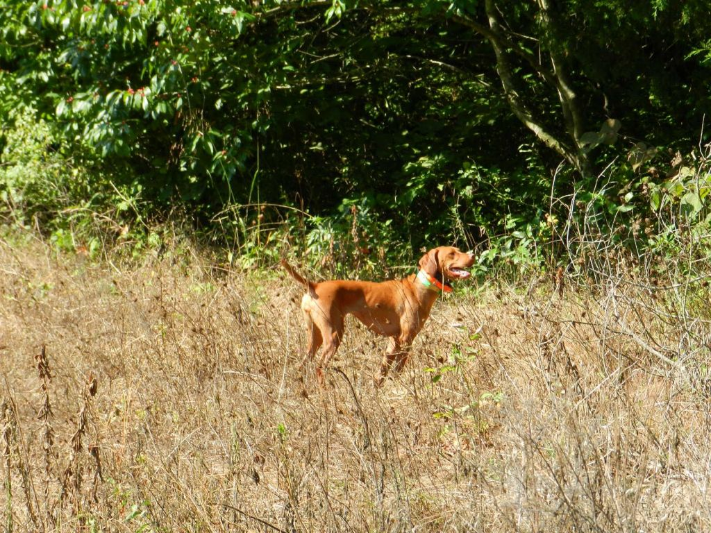 Clear View Farms  Vizslas