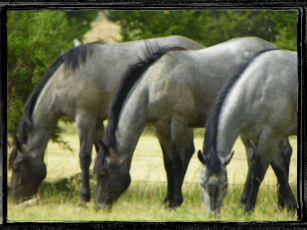 Raisin Roans Ranch Quarter Horses