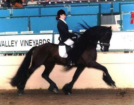 black sterling friesians