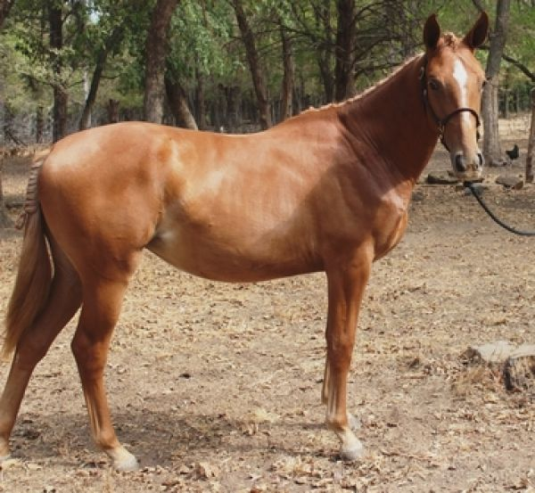 Beautiful grade Quarter horse gelding for adoption