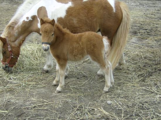 Mountain Top Miniature Horses