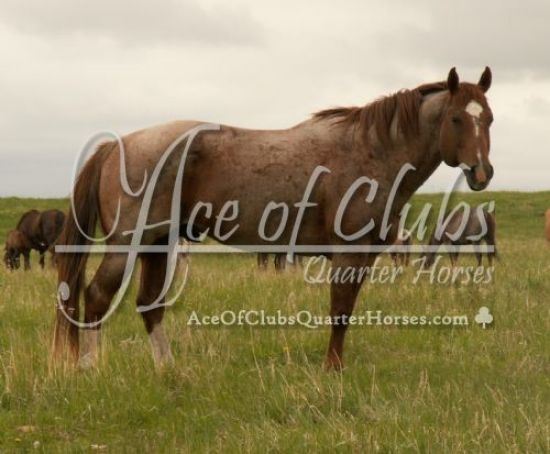 Ace of Clubs Quarter Horses