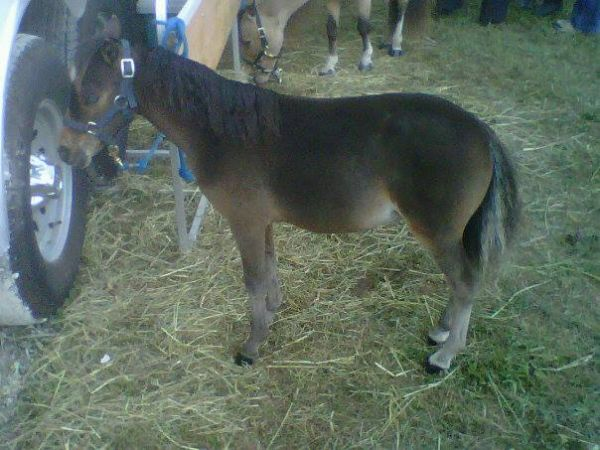 Bay Miniature Horse for Sale in Ontario
