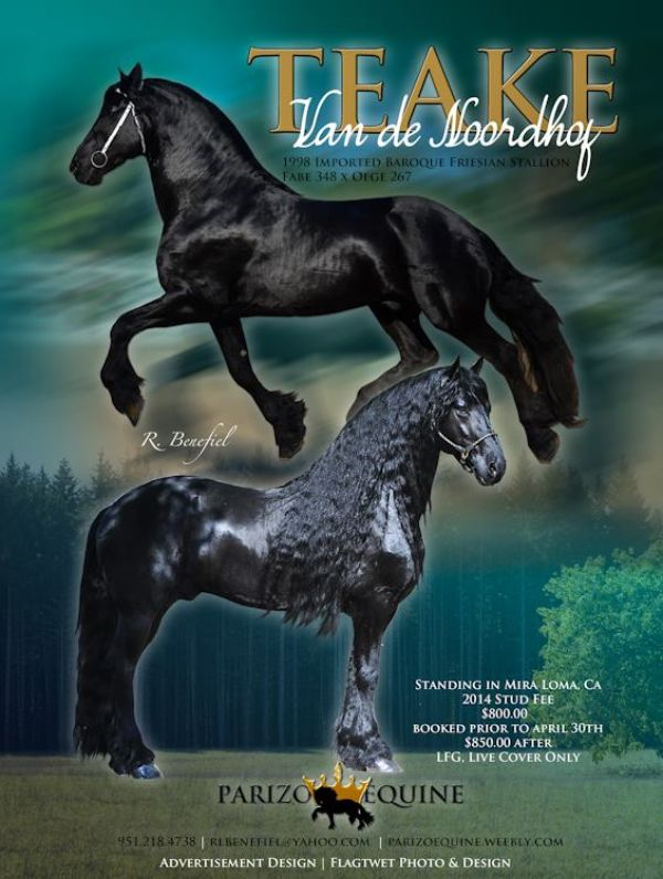 Black Friesian Stallion for Sale in California