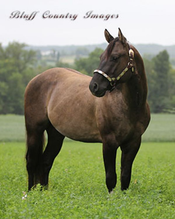 Grulla Paint Stallion for Sale in Wisconsin