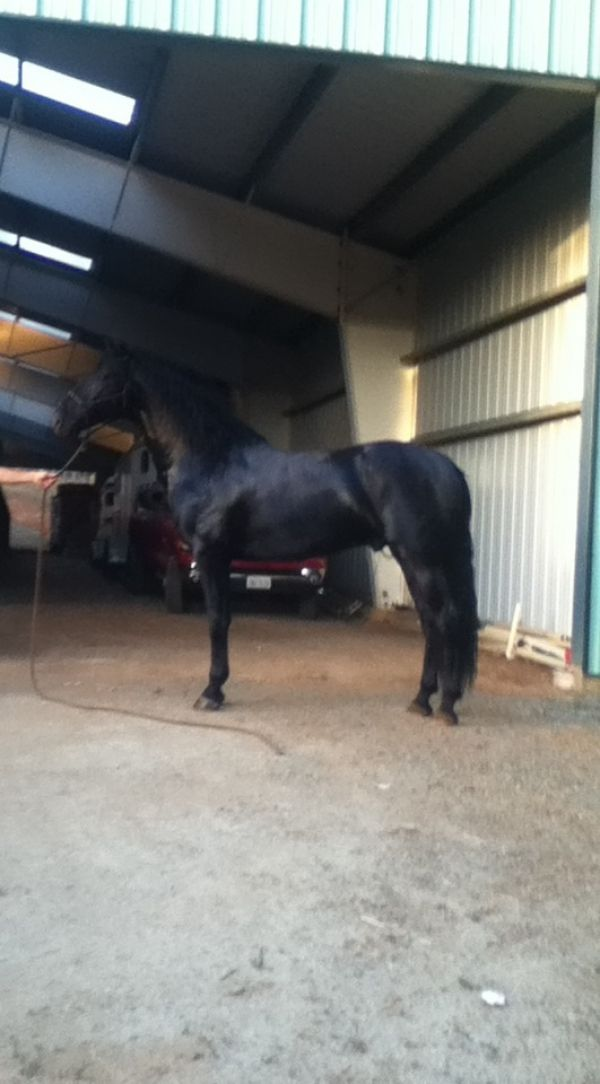 Black Andalusian Stallion for Sale in California