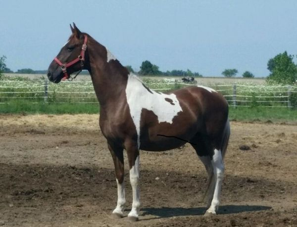 Pinto National Show Horse for Sale in Ohio