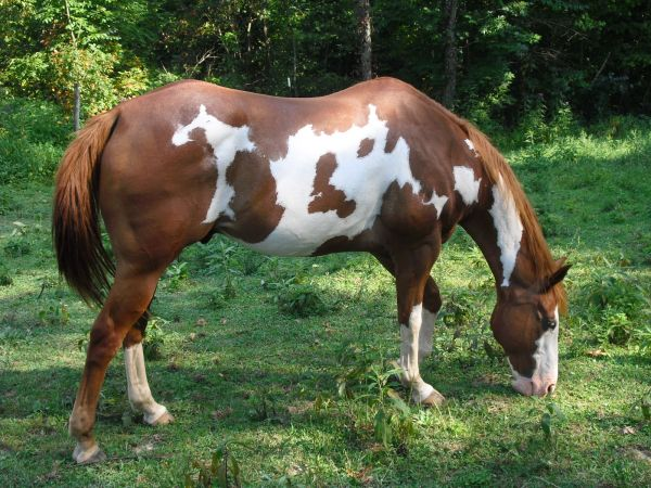 Other Paint Horse for Sale in Ohio
