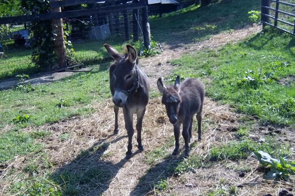 Grey Donkey Horse for Sale in Kentucky