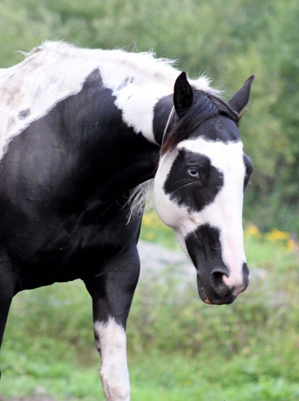 Black Paint Horse for Sale in Ontario