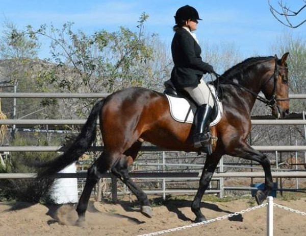 Bay Andalusian Horse for Sale in California