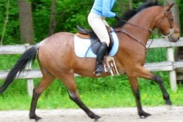 Bay Roan Crossbred Pony Horse for Sale in Maryland
