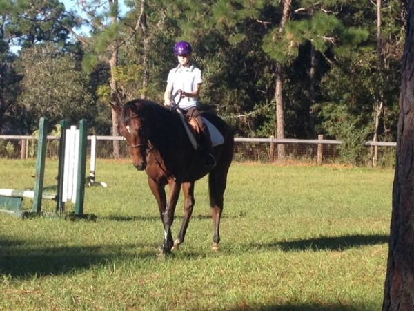 Bay Appendix Horse for Sale in Florida