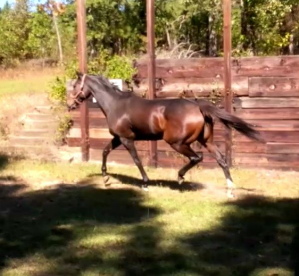 Bay Thoroughbred Horse for Sale in Georgia