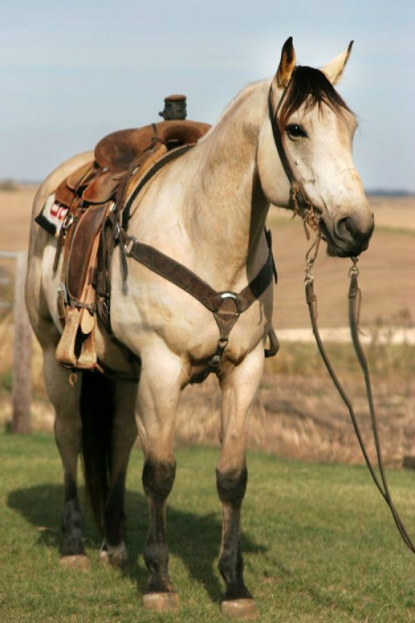 Buckskin Quarter Horse for Sale in Tennessee