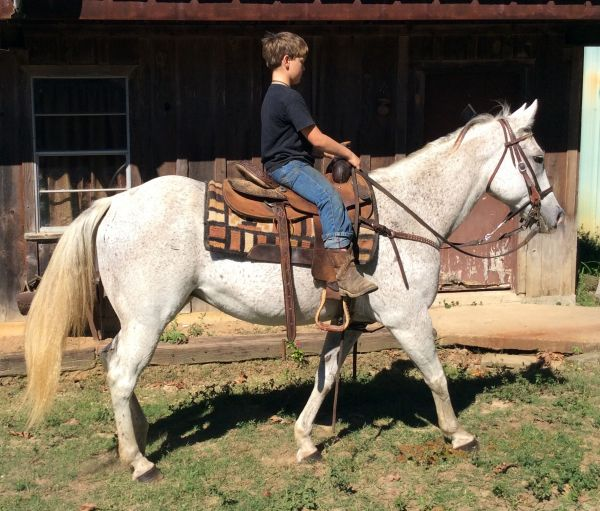 Grey Quarter Horse for Sale in Louisiana