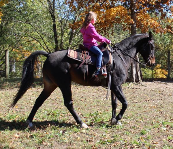 Bay Tennessee Walking Horse for Sale in Virginia