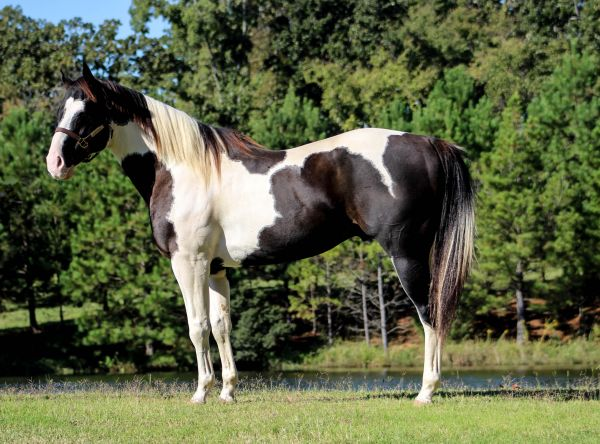Black Paint Stallion for Sale in Texas