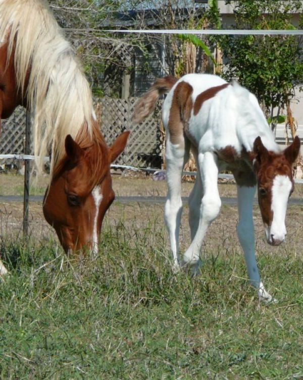 Paint Quarter Horses For Sale in Texas Quarter Horses Sale Texas