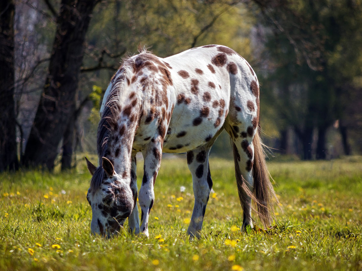 Appaloosa for Sale